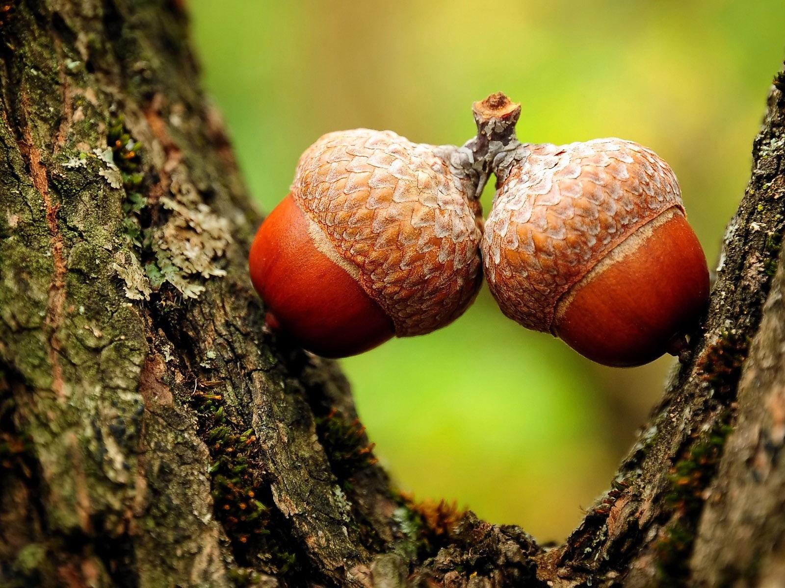 Рецепты блюд из плодов дуба – желудей.