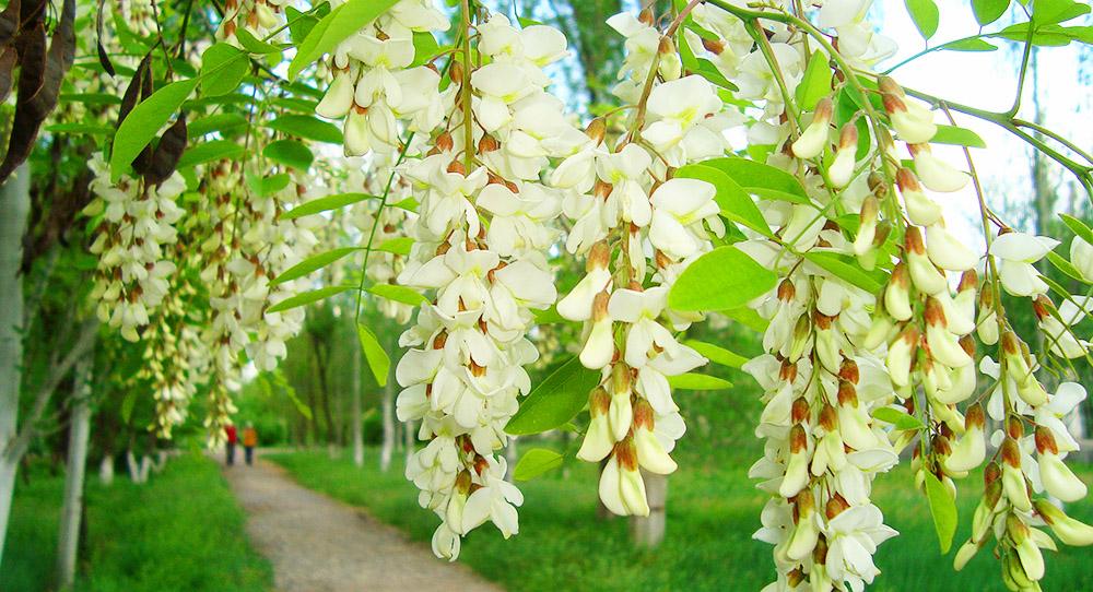 Цветки акации при бронхите
