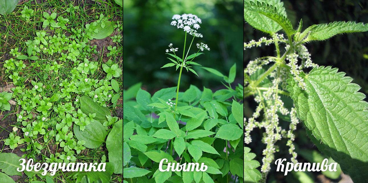 съедобные дикорастущие растения фото с названиями этот день